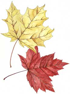 Sugar Maple (Acer saccharum) and  Red Maple (A. rubrum)