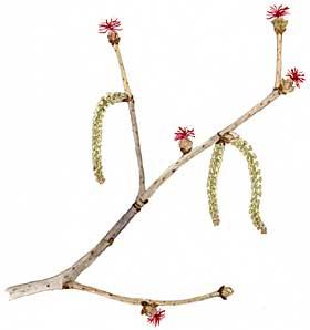 Beaked Hazelnut (C. cornuta)