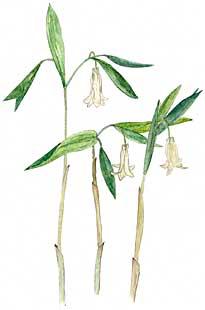Wild Oats (Uvularia perfoliata)