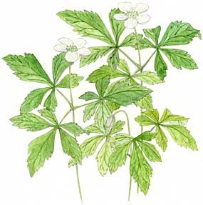 Windflower (Anemone quinquefolia)