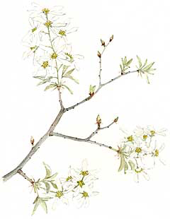 Shadbush (Amelanchier spp.)