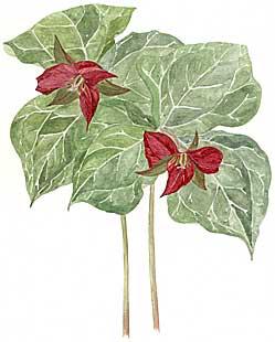 Red Trillium (Trillium e