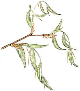 Beech Tree Buds (Fagus grandifolia)