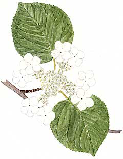 Hobblebush (Viburnum alnifolium or V. lantanoides)