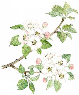 Apple Blossoms (Malus spp.)