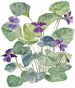 Violets (Viola spp.)