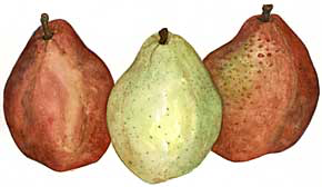Red & Green Anjou Pears (Pyrus comminus)
