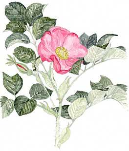 Wild Rose (Rosa rugosa)
