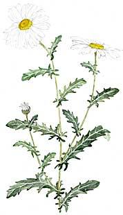 Ox-Eye Daisies (Chrysanthemum leucanthemum)