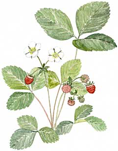 Wild Strawberry (Fragaria virginiana)