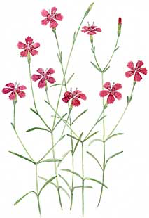 Wild pinks (Dianthus spp.)