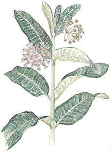 Milkweed (Asclepias syriaca)