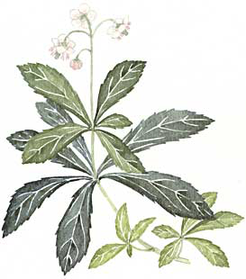 Pipsissewa (Chimaphila umbellata)
