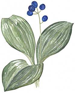 Blue Bead Lily (Clintonia borealis)