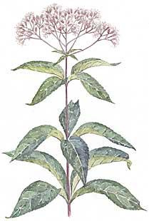 Joe-Pye Weed (Eupatorium maculatum)