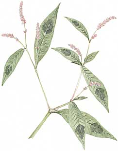 Lady's Thumb (Polygonum persicaria)