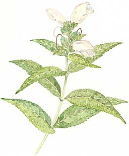 Turtlehead (Chelone glabra)