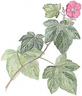 Purple Flowering Raspberry (Rubus odoratus)