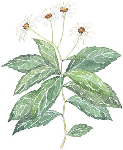 Whorled Wood Aster (Aster acuminatus)