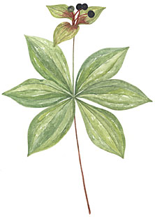 Indian Cucumber Root (Medeola virginiana)