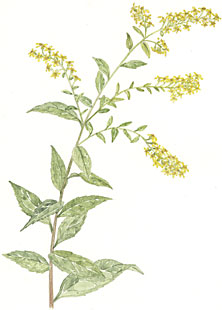 Goldenrod (Solidago arguta)