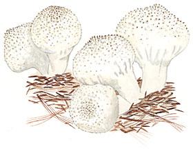 Gem Puffballs (Lycoperdon perlatum)