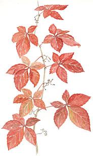 Woodbine (Parthenocissus quinquefolia)