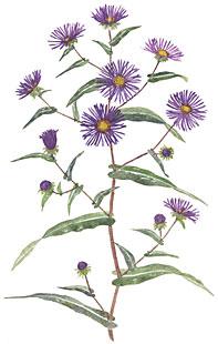 New England Asters (Aster novae-angliae)