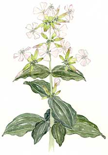 Bouncing Bet (Saponaria officinalis)