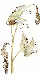 Milkweed Pods (Asclepias syriaca)