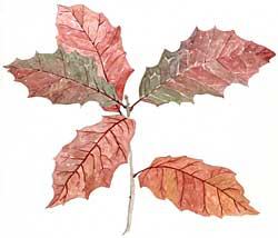 Red Oak Seedling (Quercus rubra)