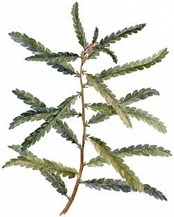 Sweet fern (Myrica peregrina)