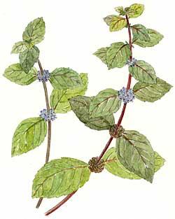 Wild Mint (Mentha spp.)
