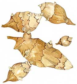 Jerusalem Artichoke Tubers (Helianthus tuberosus)