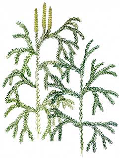Tree Clubmoss (Lycopodium obscurum)