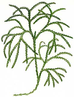 Christmas green (Lycopodium complanatum)