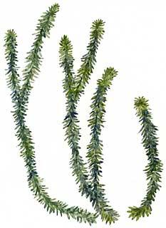 Shining Clubmoss (Lycopodium lucidulum)