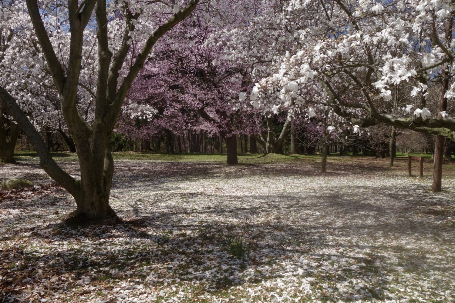 Magnolias in Durand Eastman Park at their peak.