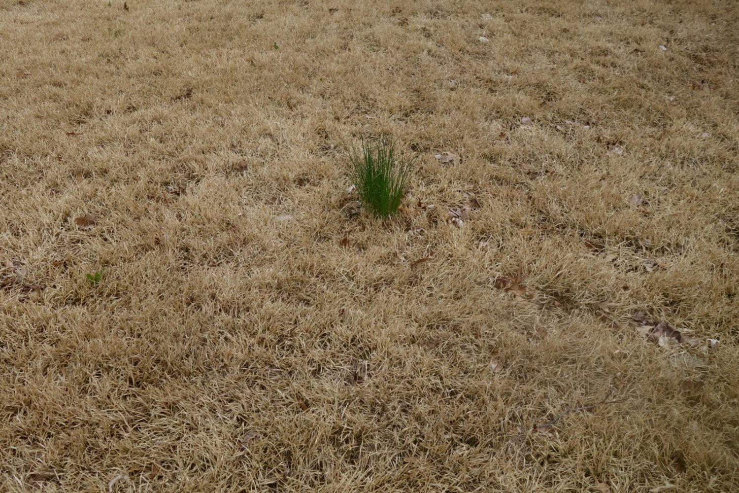 Green growth in brown lawn on Wisner