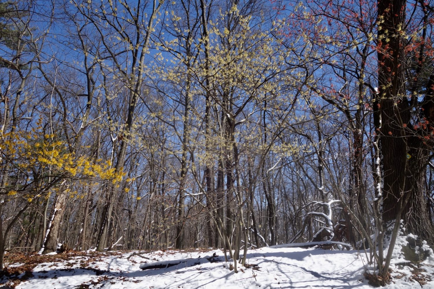 Three varieties of witch hazel on Wisner near the entrance to Durand Eastman Park