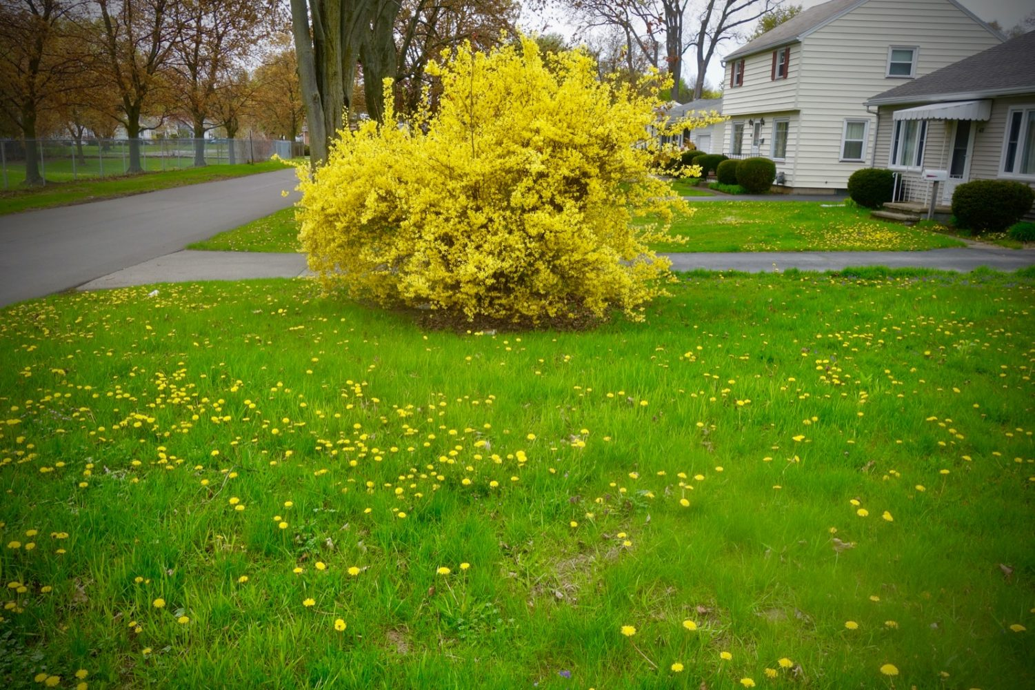 Dandelions and Forsythia in bloom on walk to Wegmans.