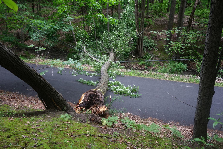 Fallen tree on Hoffman Road.
