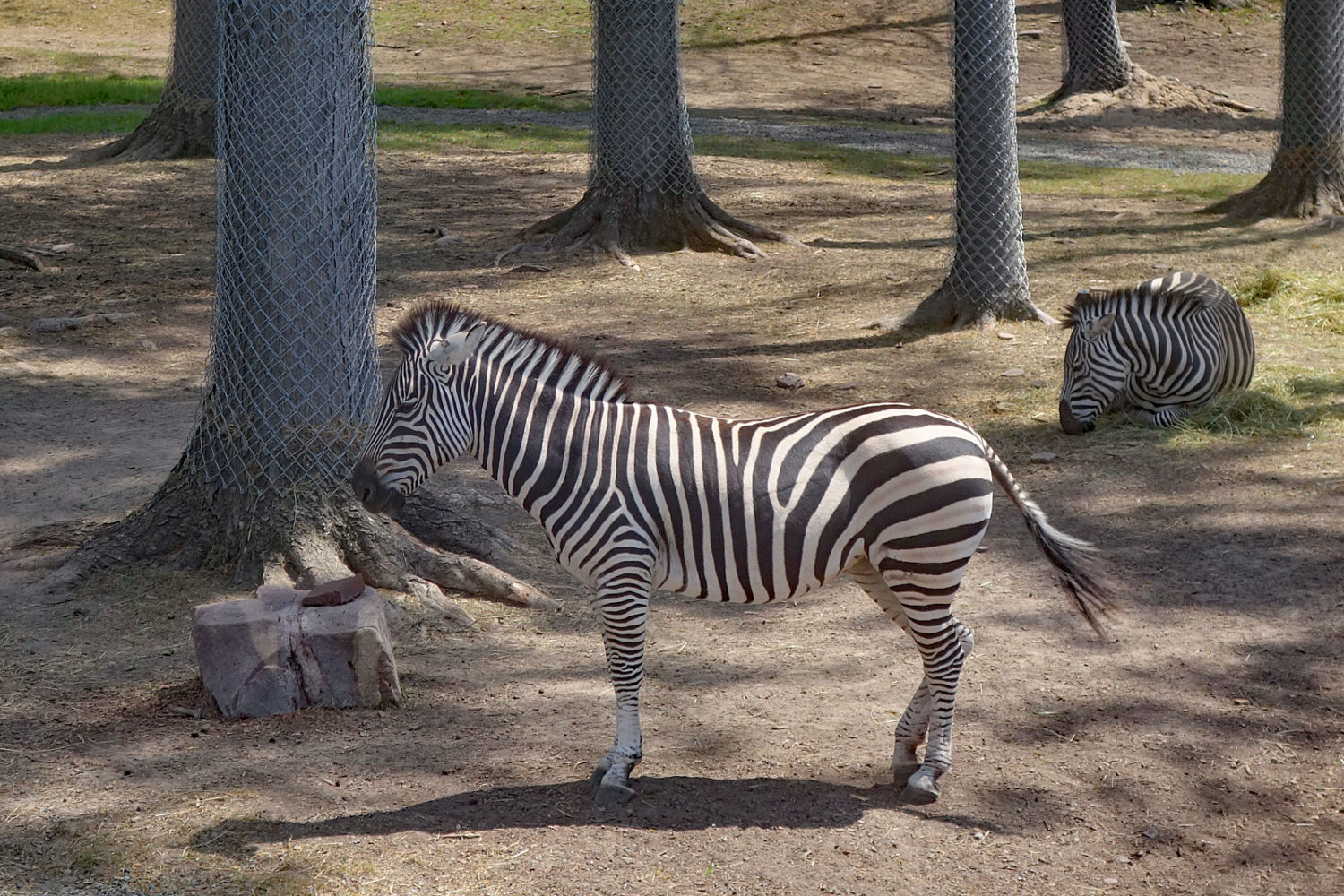 Zebra at the Seneca Park Zoo2019