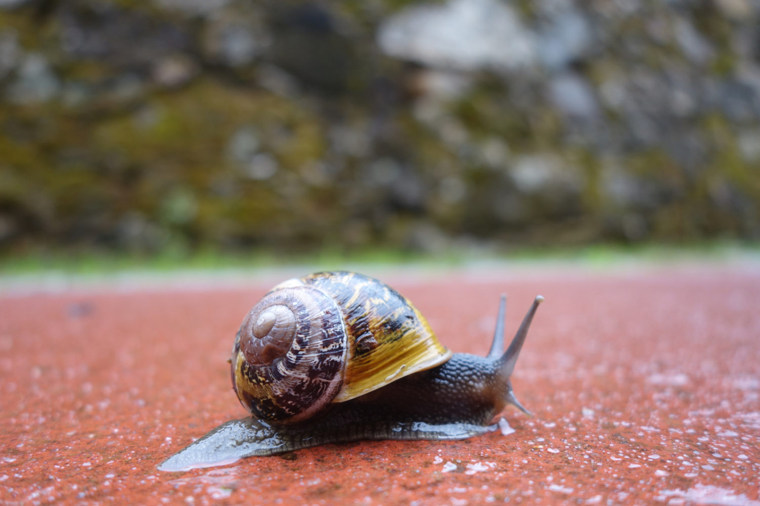 Snail crawling along the Ecopista in Portugal.