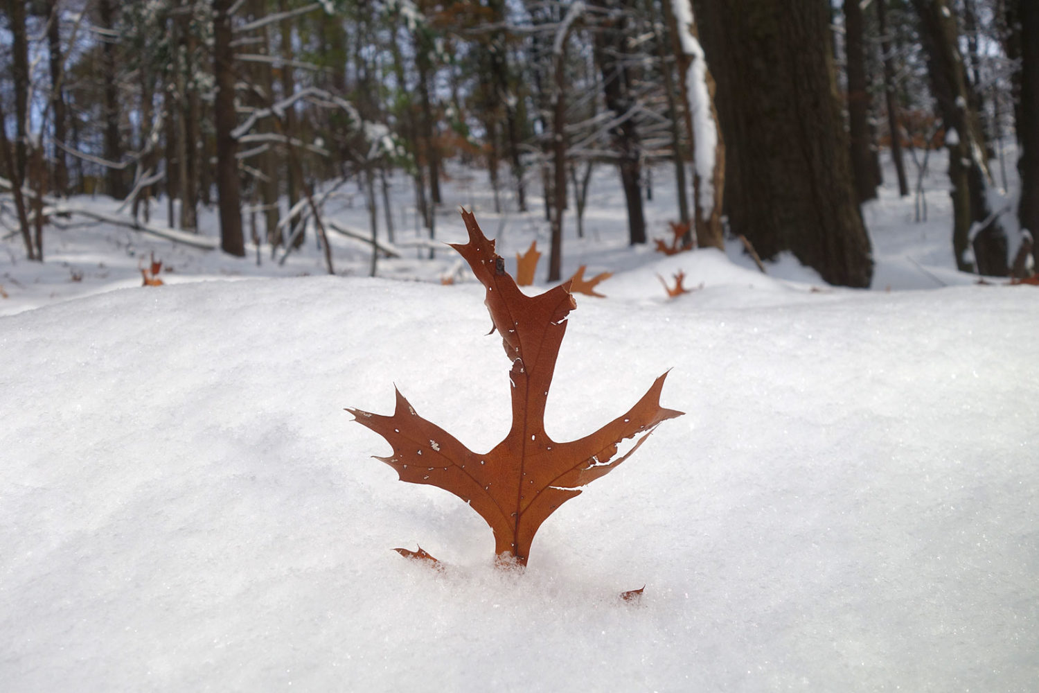 Happy Red Oak leaf in snow