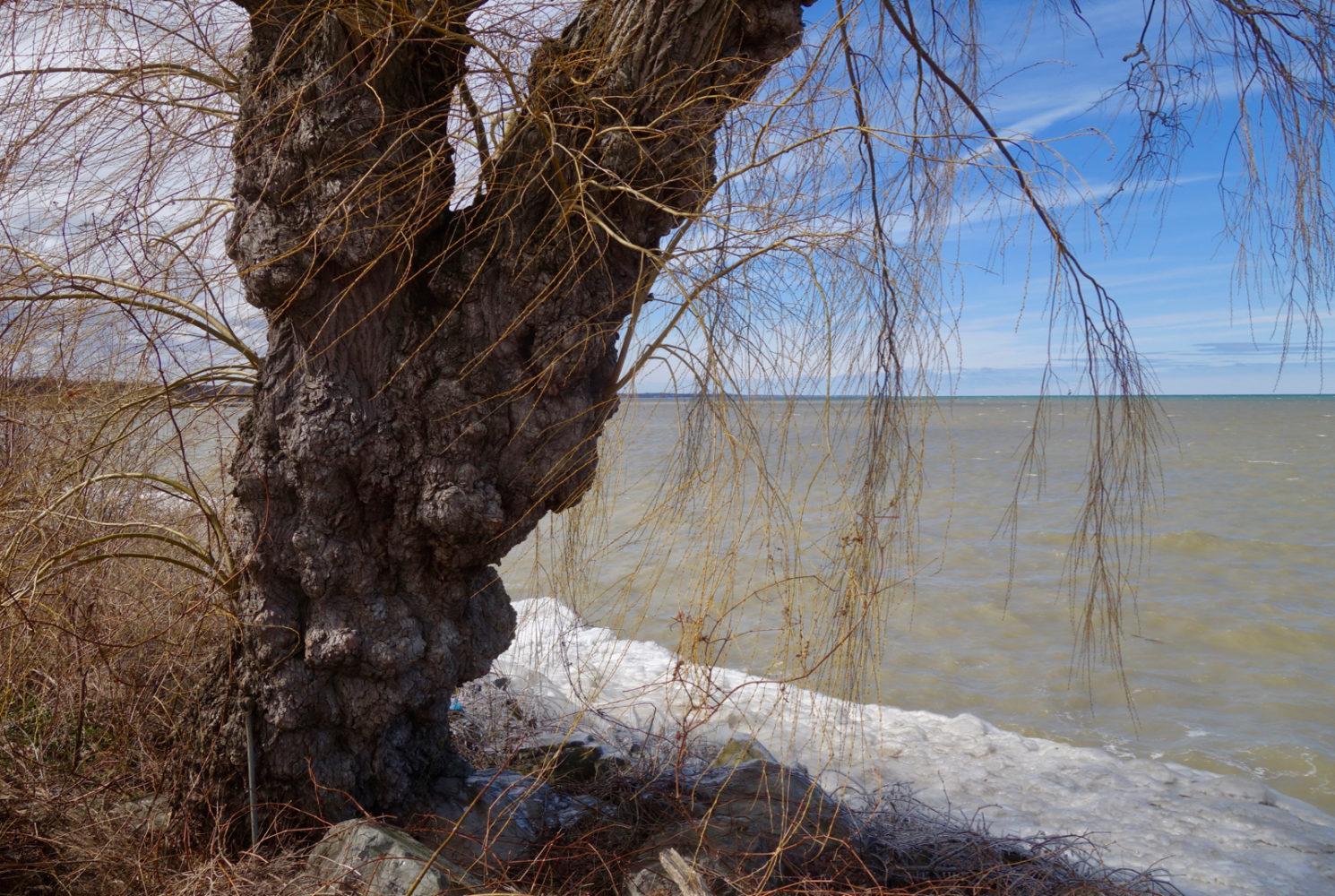Gnarly Willow along Lake Ontario