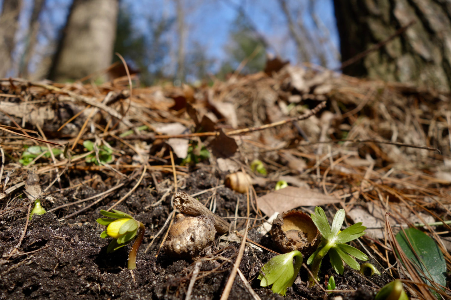 Winter Aconite just poking out of the ground on February 23, 2020