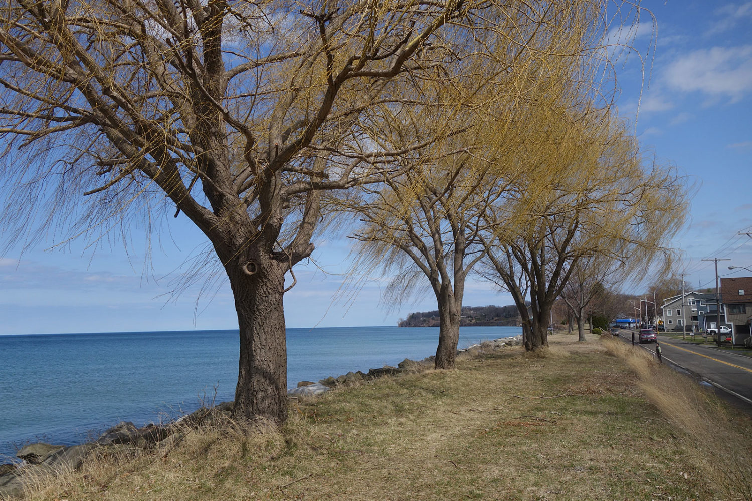 Willows along Lake Road in Webster