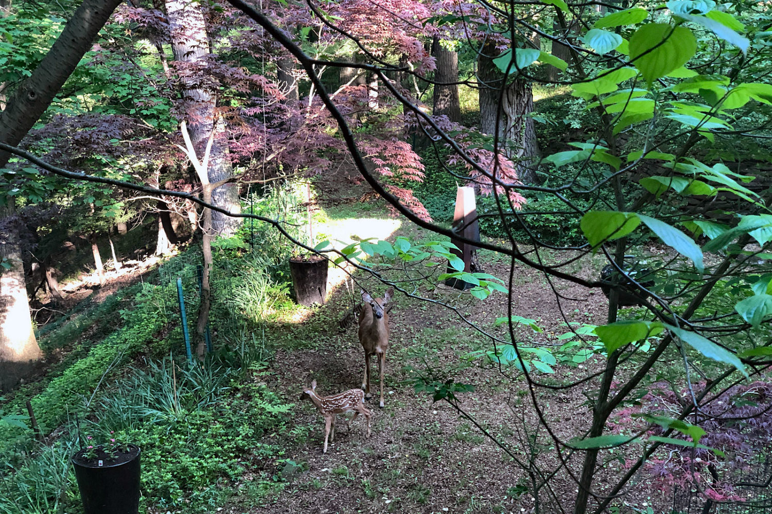 Doe with its fawn with its mother in our back yard. Photo by Peggi Fournier.mother in our back yard