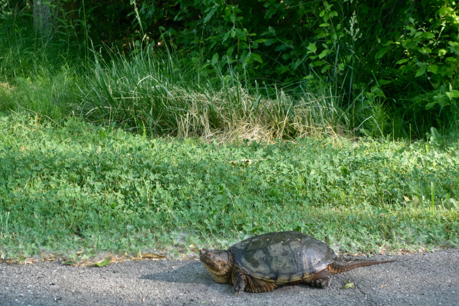 Mama snapping turtle looking for a place to lay her eggs at Conifer and Hoffman in Rochester, New York.